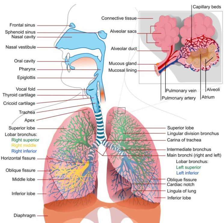 Respiratory System - Human Body System By:Tommy Lane